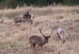 deer_011