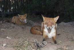 foothold trapped_double of foxes