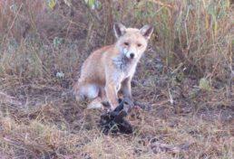 fox_04