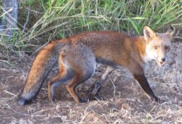 fox_08