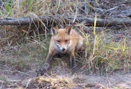 fox_09