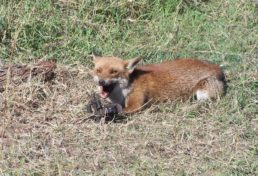 fox_10