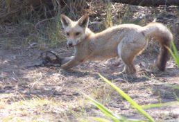 fox_13