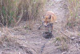 fox_16