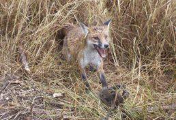 fox_17