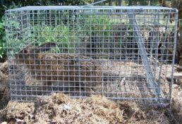 hare captured in cage trap in a suburban backyard