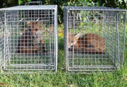 home page image_double of cage trapped foxes