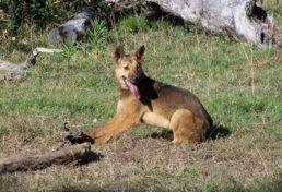 kholo wild dog_08-08-13