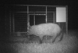 sneaky boar