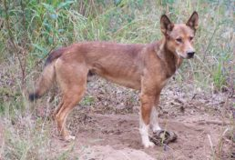 wild dog - main image