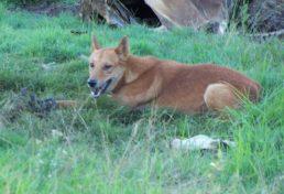 wild dog_010