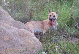 wild dog_013