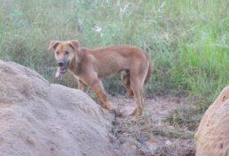wild dog_016