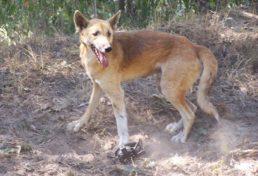 wild dog_03
