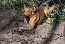 wild dog_05