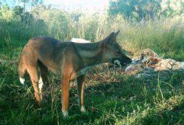 wild dog_08