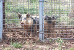 wild pigs_01